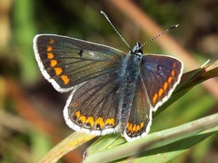 Brown Argus (martindove) Tags: imago wildlife nature brown argus lepidoptera