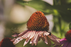 Fading Out (Proper Photography) Tags: flower flowers floral flora garden gardenflowers colorful bright beautiful beautyinnature beauty pretty lovely delicate summer summer2016 august august2016 pink pinkflowers coneflower natural naturallight naturephotography nature naturephoto green warm pale fading dyingflower noellebabinski babinskishaven