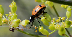 Coccinelle (TAHARFR) Tags: coccinelle coloepteres insect nature macro dreams