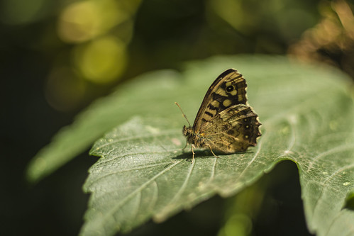 Speckled Wood | Pararge aegeria | Nymphalidae