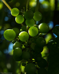 Grapes (Ren Blauwendraat) Tags: grape grapes nikon d610 nature green fruit 2470 28