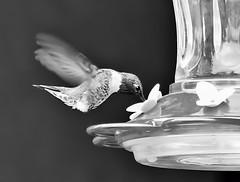 Black Chinned Hummingbird (It Sure Feels Like Fall...Love Love Love It!!!) Tags: theflickrlounge weeklytheme wk32 blackwhiteorsepia hummingbird feeder blackchinned male backyard
