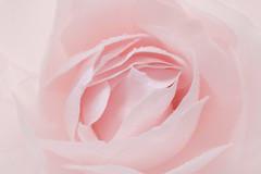Blush Pink Rose (Sandyp.com) Tags: rose pinkrose topazimpression nik macro sonyalpha sonya7rii flower blushpinkrose