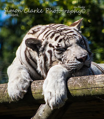 White Tiger (Simon Clarke Photography) Tags: baikal whitetiger white tiger stripes paradisepark broxbourne simonclarkephotography simon clarke canon 80d