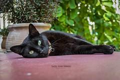 #Chillin' (Imaginarium 2.1) Tags: blackcat greece wednsdaythe14th heraclion city lasithi crete creta just chillin bvs bazilvansinner bazilvansinnerphotography eyes green