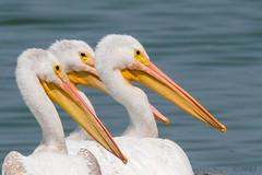 Three Amigos (MelRoseJ) Tags: sunnyvale california unitedstates sonyalpha sal70400g sony sonyilca77m2 a77ii alpha autofocus baytrail nature northerncalifornia bayarea birds pelican