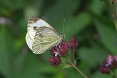 Piride de la rave (Alain G G) Tags: pierisrapae belgique papillon nature pieridae pentax macro