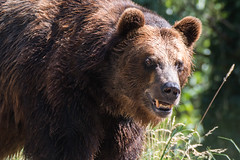 Hi there (jeff's pixels) Tags: grizzly brown bear mammal animal fur cute teddy portrait nikon d750 tamron 150600