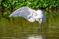 Great Egret takes a bow... (danielusescanon) Tags: greategret bird ardeaalba wild primp preen virginia huntleymeadowspark birdperfect animalplanet