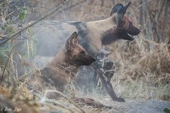 DT-160 (Photography by Brian Lauer) Tags: botswana africa safari safaris wildlife travel nikonphotography nikon lion elephant hippo fisheagle saddlebilledstork piedkingfisher lilacbreastedroller wilddog