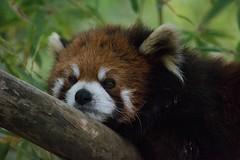 20160313 160007 (ec 92009) Tags: animal bear ca california flowers mammal panda redpanda sandiego usa zoo