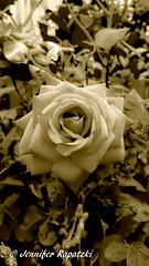 Sepia rose (Bernsteindrache7) Tags: rot summer spring flora fauna flower bloom blossom blume red outdoor landscape