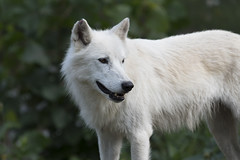 Arctic Wolf 48 (cypher40k Photography) Tags: color colour nikon arcticwolf wolf arctic toronto torontozoo zoo