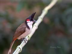 Red whiskered bulbul (Anway Sen) Tags: bird nikon5200 bulbul bagnanwestbengalindia