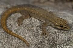 Lygodactylus capensis - Cape Dwarf Gecko. (Tyrone Ping) Tags: lygodactylus capensis cape dwarf gecko tyroneping wwtyronepingcoza tyrone ping canon canon7d closeup macro 100mmmacrof28 100mm wild wildlife wildherps wildanimals geckos field fieldherping