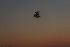 Kittiwake silhouette (Elvar H) Tags: arcticocean helmerhansen siarctic birds ice iceedge sunset