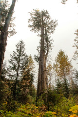 ancient forest  (23 of 151) (ve7org) Tags: ancientforest ancientcedars cedartrees parks trail