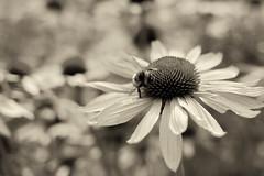 Besucher / Visitor (-Aperture-) Tags: eos ef 35 35mm 600d is usm canon sonnenschein sunshine blume flower hummel bumblebee margeriten marguerite