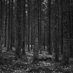 Rolleicord IV/FP4+/D23 (Jonas.Nilsson) Tags: rolleicordiv ilford fp4 kodak d23 xenar filmphotography film filmisnotdead mediumformat mf monochrome blackandwhite bw believeinfilm iamfilm forest spruce