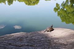 turtle pond, central park (jos....) Tags: centralpark newyork schildpad turtlepond vakantie