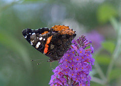 Red Admiral (KsCattails) Tags: blossom butterfly butterflybush d7000 flower insect kscattails missouri nature nikon powellgardens redadmiral vanessaatalantarubria buddleja