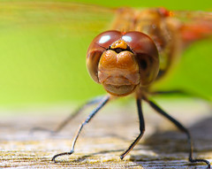 Dragonfly macro (spencerrushton) Tags: sirharoldhilliergardens spencerrushton spencer rushton river colour canon canon760d 760d manfrotto manfrottotripod macro outdoors nature dragonfly insect animal fly efcanon100mmf28lmacroisusm canon100mmf28lmacroisusm 100mm garden gardens green brown beautiful wild raw