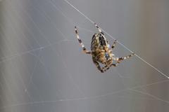 Web designer (Thijs de Bruin) Tags: web spider nature natuur dutch