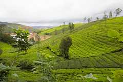 Nature's Bliss (WanderingPixel) Tags: green hill mountain tea estate plantation plants ooty