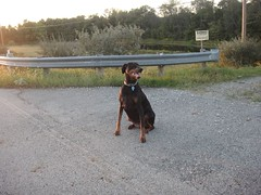 1474754888_2016_Sep_24_18-08-08_walkx104 (yclept8) Tags: doberman julie