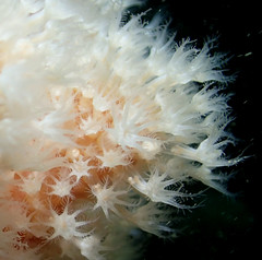 alcyonium glomeratum (richie rocket) Tags: scillies seasearch scillyisles cornwall uk underwater scuba diving