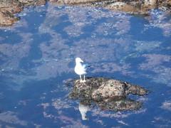 isla (jesust793) Tags: gaviotas pjaro mar roca isla bird sea