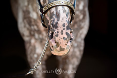 shelleypaulson_2009-400 (Shelley Paulson) Tags: appaloosa closeup equine halter horse leopard western