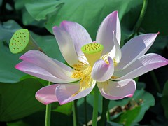lotus sisters (oneroadlucky) Tags: nature plant flower lotus waterlily pink