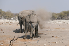 dusty bath (Stefan Giese) Tags: namibia afrika africa panasonic fz1000 wüste desert elefant elephant staubbad