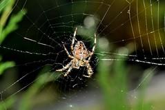 Garden spider( Araneus diadematus)   DSC_0531 (Me now0) Tags: spidernet park europe autumn afternoon nikond5300 basiclens 1855mmf3556 closeup     5300   8feetbug kreuzspinne gardenspider araneusdiadematus