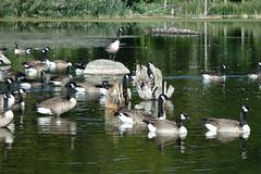2016 NE Vacation18-Sinking Pond Wildlife Santuary Swans1-East Aurora, NY (Phaota2) Tags: sinking pond wildlife sanctuary aurora new york ny swan swans