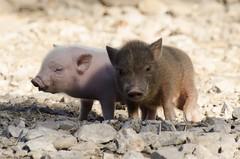 Piglets <3 (Jimmy Benson) Tags: hochwildparkrheinland piglets nikon d7000 jimmybenson
