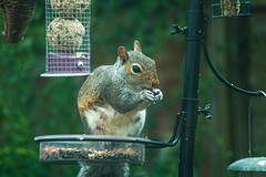 Squirrel Sept 2016 (Twisted Astro) Tags: squirrel nature birdtable peanuts natal dslr nikon d3200 wildlife backgarden garden