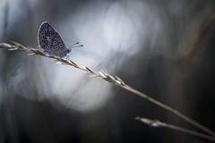 Simplement (Mathieu Calvet) Tags: pentax k3 fa100macro 100mm macro bokeh blur papillon mariposa butterfly flou nature occitanie midipyrnes explore interesting