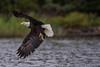 Eagle splash (Khurram Khan...) Tags: baldeagle eagles wildlife wildlifephotography wild winter migration birdsofprey nikon nikkor ilovenature wwwkhurramkhanphotocom khurramkhan wildelife