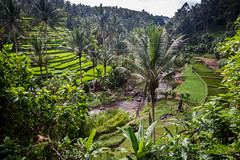 Rice paddies around Sungai Ayung river west of Ubud (Tim&Elisa) Tags: bali indonesia asia canon sungaiayung ubud river riceterraces landscape green palmtree rice paddies ricepaddies
