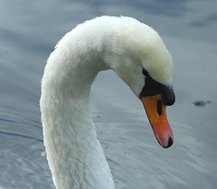 Portrait of a Swan. Cygnus olor (jdathebowler Thanks for 1.1 Million + views.) Tags: muteswan portraitofaswan cygnusolor waterfowl speciescolor familyanatidae orderanseriformes aves thebeautyofnature fantasticnature coth