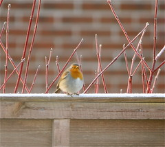 on a frosty fence this morning.. (mag2003...) Tags: morning bird robin fence garden wildlife frosty