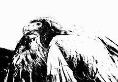 Stare (Jeff Derbys) Tags: blackandwhite eagle postprocessing canoneos500d