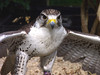 """""""Show Off"""" (Galeyo) Tags: falcons me2youphotographylevel1 freedomtosoarlevel1birdphotosonly"""