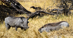"Warthog in Okavango Delta, Botswana • <a style=""font-size:0.8em;"" href=""https://www.flickr.com/photos/21540187@N07/8294360890/"" target=""_blank"">View on Flickr</a>"