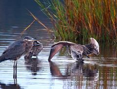 Hokey Pokey (i_am_durin) Tags: pelican hokeypokey canon30d huntingtonbeachstatepark durinsday