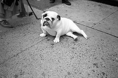 that face (davebias) Tags: nyc blackandwhite film bulldog sidewalk