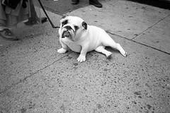 that face (davebias) Tags: nyc blackandwhite film bulldog sidewalk