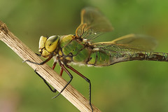 Anax imperator - Keizerlibel (henk.wallays) Tags: macro nature up insect close dragonflies dragonfly wildlife odonata imperator libel keizerlibel anax libelulle odonate odonatab